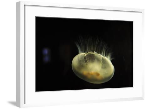 Beautiful Brightly Lit Up Bioluminescence of This Moon Jellyfish-Sheila Haddad-Framed Art Print