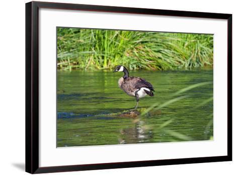 Canada Goose on the Los Angeles River, Los Angeles, California-Peter Bennett-Framed Art Print