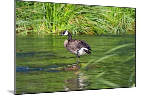 Canada Goose on the Los Angeles River, Los Angeles, California-Peter Bennett-Mounted Photographic Print