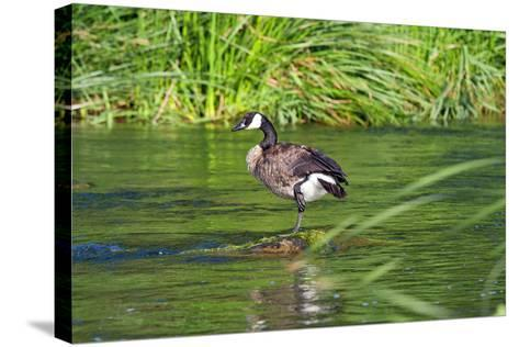 Canada Goose on the Los Angeles River, Los Angeles, California-Peter Bennett-Stretched Canvas Print