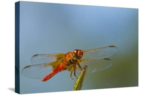 Flame Skimmer Dragonfly Drying its Wings on a Daytime Perch-Michael Qualls-Stretched Canvas Print