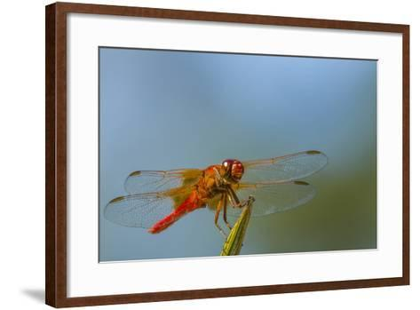 Flame Skimmer Dragonfly Drying its Wings on a Daytime Perch-Michael Qualls-Framed Art Print