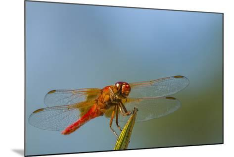 Flame Skimmer Dragonfly Drying its Wings on a Daytime Perch-Michael Qualls-Mounted Photographic Print