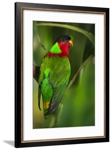 Collared Lory, Endemic to Fiji, Captive-Pete Oxford-Framed Art Print