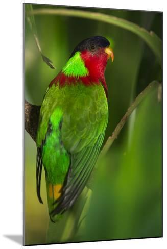 Collared Lory, Endemic to Fiji, Captive-Pete Oxford-Mounted Photographic Print