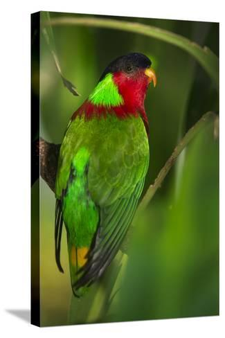 Collared Lory, Endemic to Fiji, Captive-Pete Oxford-Stretched Canvas Print