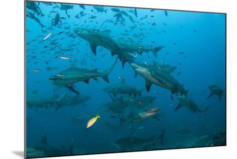 Bull Shark, Commercial Shark Feeding, Benga Lagoon, Viti Levu, Fiji-Pete Oxford-Mounted Photographic Print