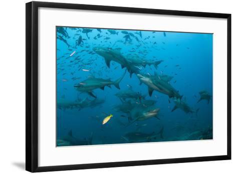Bull Shark, Commercial Shark Feeding, Benga Lagoon, Viti Levu, Fiji-Pete Oxford-Framed Art Print