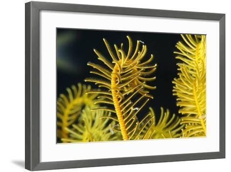 Bennett's Feather Star (Oxycomanthus Bennetti), Rainbow Reef, Fiji-Pete Oxford-Framed Art Print