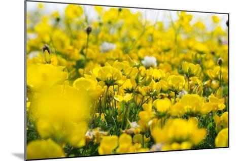 Isle of Lewis, Machair with Birds Foot Trefoil, Scotland-Martin Zwick-Mounted Photographic Print