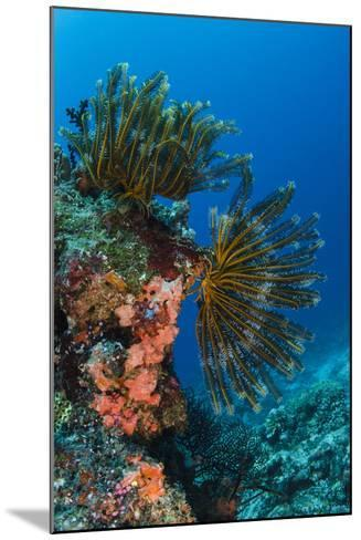Bennett's Feather Star (Oxycomanthus Bennetti), Rainbow Reef, Fiji-Pete Oxford-Mounted Photographic Print