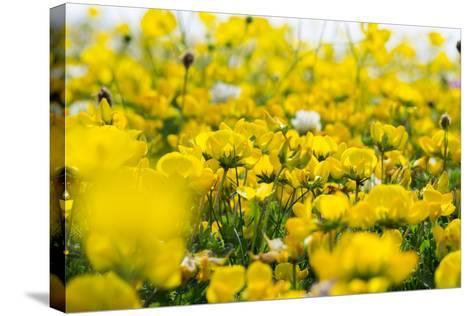 Isle of Lewis, Machair with Birds Foot Trefoil, Scotland-Martin Zwick-Stretched Canvas Print