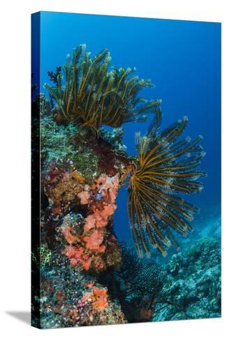 Bennett's Feather Star (Oxycomanthus Bennetti), Rainbow Reef, Fiji-Pete Oxford-Stretched Canvas Print