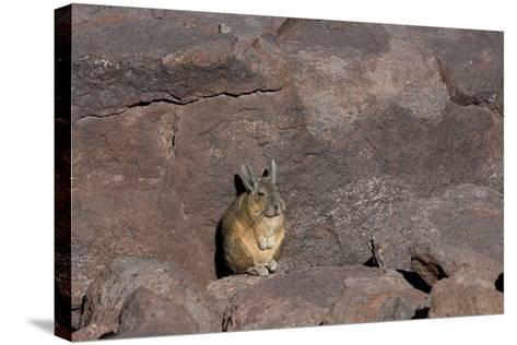 The Southern Vizcacha Found in the Peruvian Andes, are Rodents-Mallorie Ostrowitz-Stretched Canvas Print