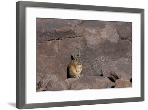The Southern Vizcacha Found in the Peruvian Andes, are Rodents-Mallorie Ostrowitz-Framed Art Print
