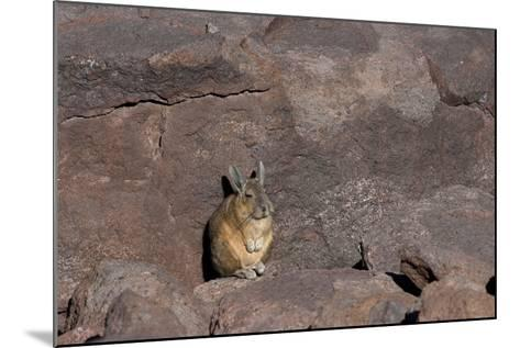 The Southern Vizcacha Found in the Peruvian Andes, are Rodents-Mallorie Ostrowitz-Mounted Photographic Print