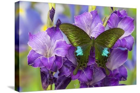 Common Peacock Swallowtail Butterfly, Papilio Polyctor-Darrell Gulin-Stretched Canvas Print