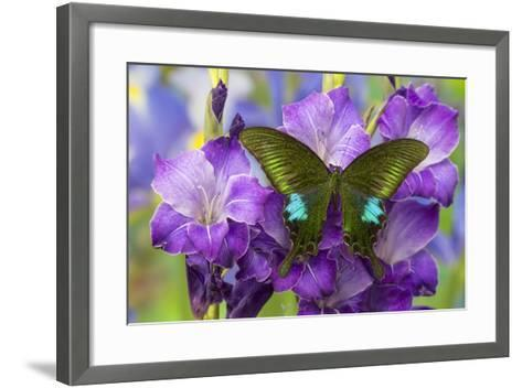Common Peacock Swallowtail Butterfly, Papilio Polyctor-Darrell Gulin-Framed Art Print