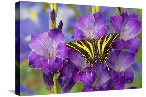 Three-Tailed Tiger Swallowtail Butterfly, Papilio Pilumnus-Darrell Gulin-Stretched Canvas Print