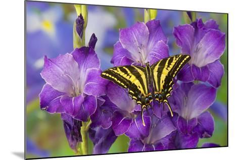 Three-Tailed Tiger Swallowtail Butterfly, Papilio Pilumnus-Darrell Gulin-Mounted Photographic Print