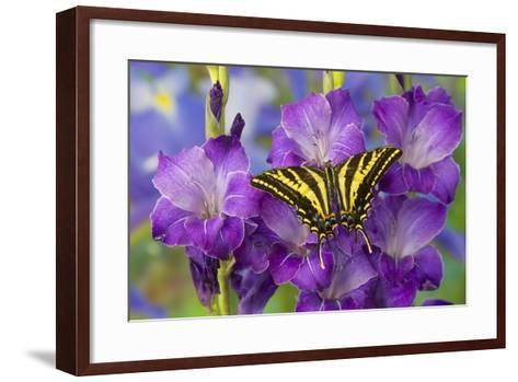 Three-Tailed Tiger Swallowtail Butterfly, Papilio Pilumnus-Darrell Gulin-Framed Art Print