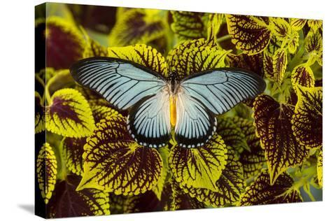 African Giant Blue Swallowtail Butterfly, Papilio Zalmoxis-Darrell Gulin-Stretched Canvas Print