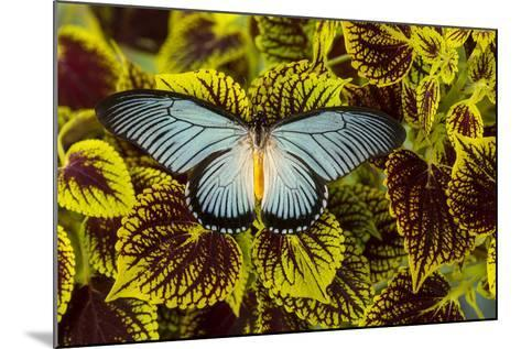 African Giant Blue Swallowtail Butterfly, Papilio Zalmoxis-Darrell Gulin-Mounted Photographic Print