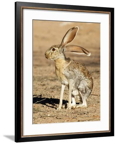 Antelope Jackrabbit. Largest of the North American Hares, Arizona-Richard Wright-Framed Art Print