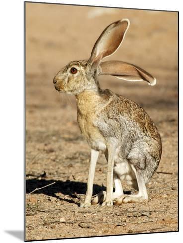 Antelope Jackrabbit. Largest of the North American Hares, Arizona-Richard Wright-Mounted Photographic Print