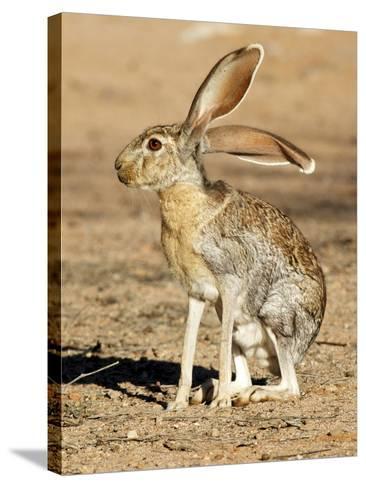 Antelope Jackrabbit. Largest of the North American Hares, Arizona-Richard Wright-Stretched Canvas Print
