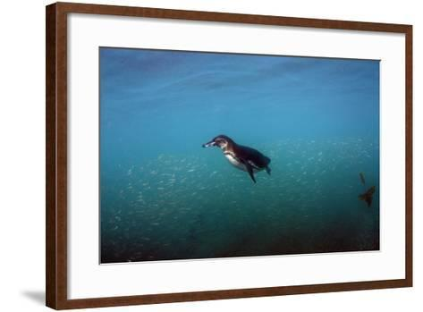 Galapagos Penguin (Spheniscus Mendiculus), Galapagos Islands, Ecuador-Pete Oxford-Framed Art Print