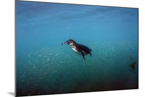 Galapagos Penguin (Spheniscus Mendiculus), Galapagos Islands, Ecuador-Pete Oxford-Mounted Photographic Print