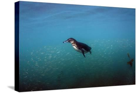 Galapagos Penguin (Spheniscus Mendiculus), Galapagos Islands, Ecuador-Pete Oxford-Stretched Canvas Print