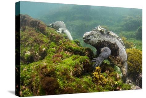 Marine Iguana Underwater, Fernandina Island, Galapagos, Ecuador-Pete Oxford-Stretched Canvas Print