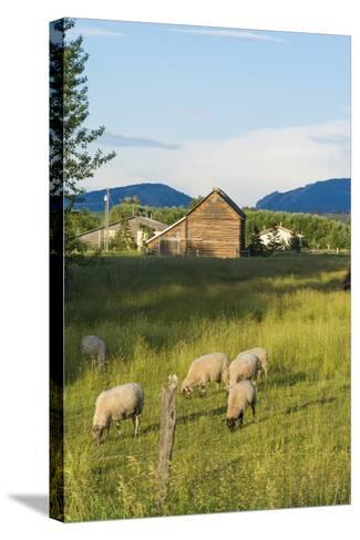 Bozeman, Montana, View of Sheep and Barn in Beautiful Green Fields-Bill Bachmann-Stretched Canvas Print