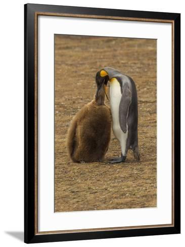 Falkland Islands, East Falkland. King Penguin Parent Feeding Chick-Cathy & Gordon Illg-Framed Art Print