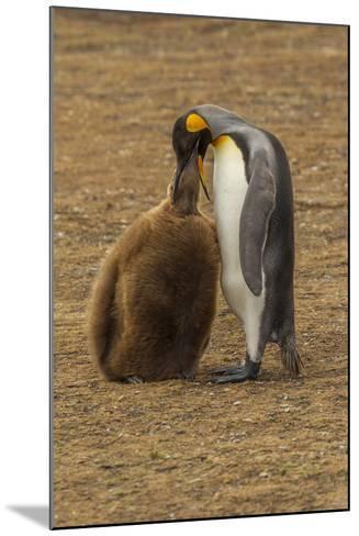 Falkland Islands, East Falkland. King Penguin Parent Feeding Chick-Cathy & Gordon Illg-Mounted Photographic Print