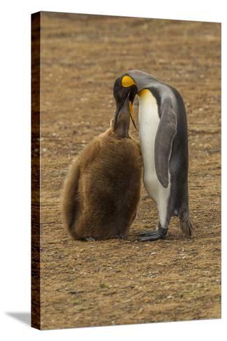 Falkland Islands, East Falkland. King Penguin Parent Feeding Chick-Cathy & Gordon Illg-Stretched Canvas Print