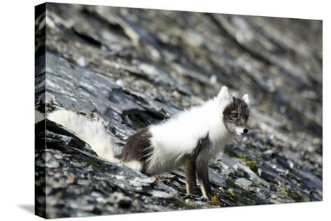 Norway. Svalbard. Barentsoya. Arctic Fox in a Mixed Coat-Inger Hogstrom-Stretched Canvas Print