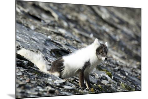 Norway. Svalbard. Barentsoya. Arctic Fox in a Mixed Coat-Inger Hogstrom-Mounted Photographic Print
