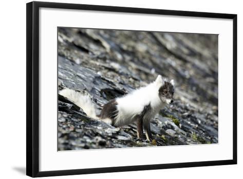 Norway. Svalbard. Barentsoya. Arctic Fox in a Mixed Coat-Inger Hogstrom-Framed Art Print