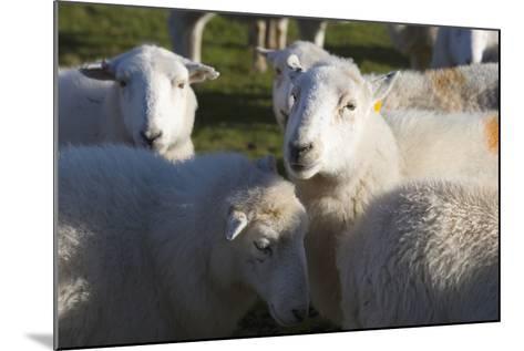 Sheep, Snowdonia, Wales, UK-Peter Adams-Mounted Photographic Print