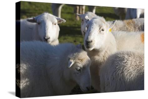 Sheep, Snowdonia, Wales, UK-Peter Adams-Stretched Canvas Print