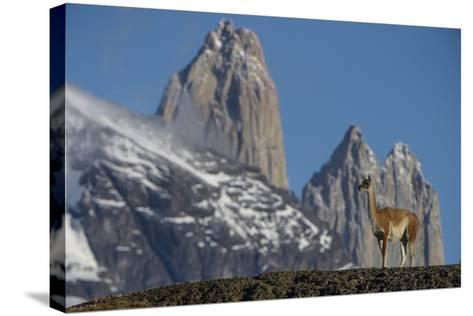 Guanaco with Cordiera del Paine, Torres del Paine, Patagonia, Chile-Pete Oxford-Stretched Canvas Print