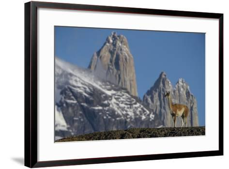 Guanaco with Cordiera del Paine, Torres del Paine, Patagonia, Chile-Pete Oxford-Framed Art Print