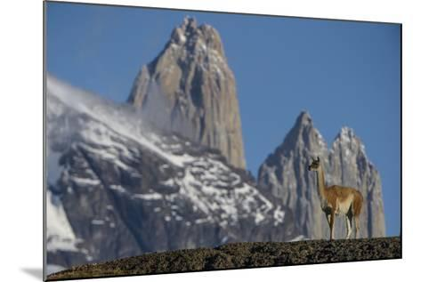 Guanaco with Cordiera del Paine, Torres del Paine, Patagonia, Chile-Pete Oxford-Mounted Photographic Print
