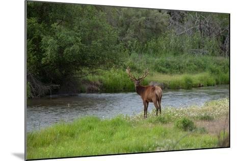 Young Bull Elk in the National Bison Range, Montana-James White-Mounted Photographic Print