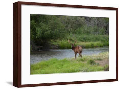 Young Bull Elk in the National Bison Range, Montana-James White-Framed Art Print