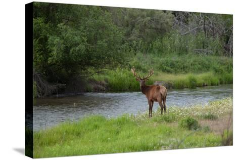 Young Bull Elk in the National Bison Range, Montana-James White-Stretched Canvas Print
