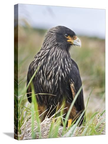 Striated Caracara (Phalcoboenus Australis), Falkland Islands-Martin Zwick-Stretched Canvas Print
